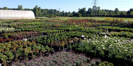 Lans flower farm selling over 700 varieties of containerized perennials mightylinksfo